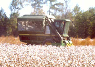 cottonpicking.jpg (539865 bytes)